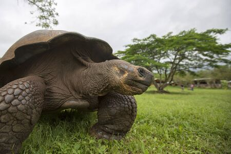 land turtle: Giant Galapagos land turtle, eating grass in El Chato Tortoise Reserve. Galapagos islands 2015.