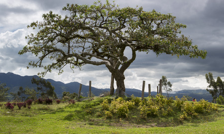 cursed: El Lechero, the sacred tree of Otavalo. This tree is part of local mythology, believed to house the soul of a cursed lover, who fell in love with a chap from a rival family. Ecuador 2015