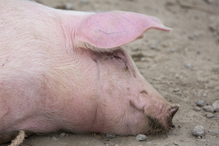 wallowing: Signle pink pig wallowing in the mud at an outdoor live animal market in Otavalo, Ecuador Stock Photo
