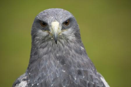 bird sanctuary: Head of an American Bald Eagle with a green background on a perch at an outdoor bird sanctuary near Otavalo, Ecuador