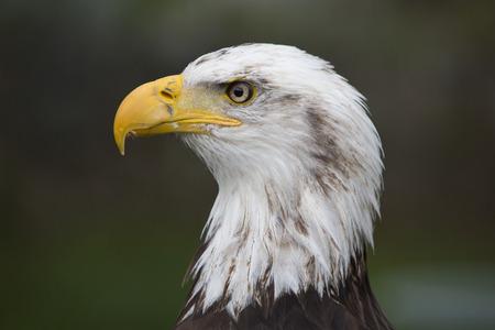 bird sanctuary: Head of an American Bald Eagle at an outdoor bird sanctuary near Otavalo, Ecuador