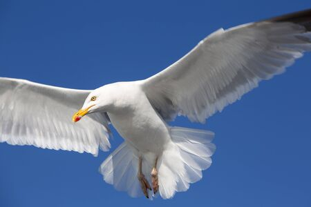 palmate: Flying Great Black-backed Gull (Larus marinus) with a clear blue sky in the background in Brittany, France