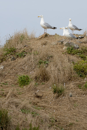 looking ahead: Watchful seagulls looking ahead and resting on a Cliff on Cezembre island, Bretagne, France. Stock Photo