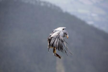 bird sanctuary: Flying American Bald Eagle at an outdoor bird sanctuary near Otavalo, Ecuador