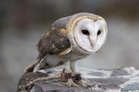 bird sanctuary: Closeup of Barn Owl at an outdoor bird sanctuary near Otavalo, Ecuador