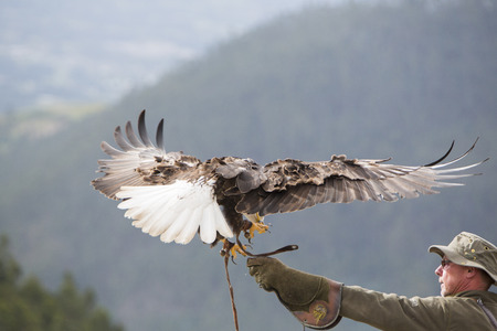 bird sanctuary: OTAVALO, ECUADOR, FEBRUARY 28: Flying American Bald Eagle landing on the glove of his trainer at an outdoor bird sanctuary near Otavalo, Ecuador 2015.