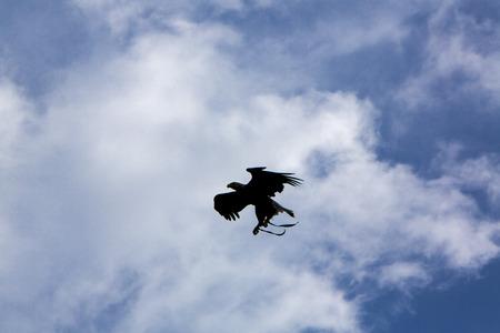 bird sanctuary: Silhouette of a flying American Bald Eagle at an outdoor bird sanctuary near Otavalo, Ecuador