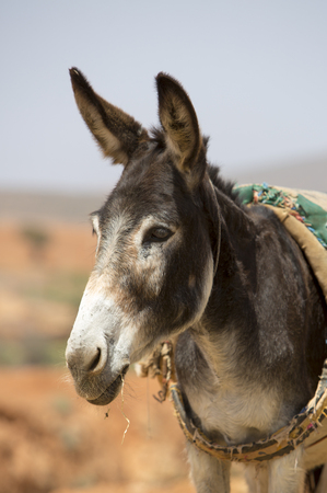 burro: Burro, animales de granja en el campo marroqu� de Sidi Ifni.