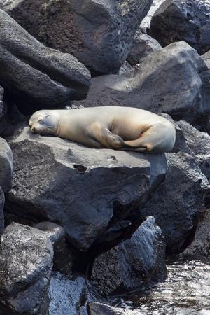 cristobal: Sea lion sleeping on the rocks in the port of San Cristobal Island. Galapagos Islands. Ecuador