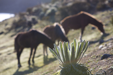 grassy plot: Endemic green plants called Frailejon in Spanish with sun beams during sunset and three wild horses defocussed in the background