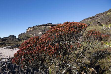 steine im wasser: Landschaft an der Spitze des Mount Roraima am Morgen mit blauem Himmel. Schwarzen vulkanischen Steinen, Wasser und roten endemische Pflanzen. Gran Sabana. Venezuela 2015.
