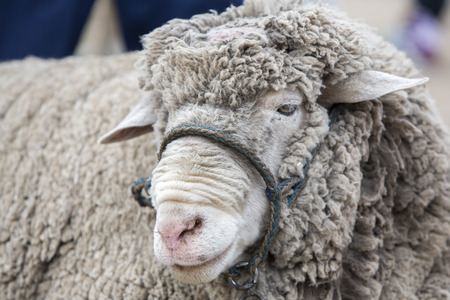 naivety: Closeup of white lamb for sale in the Andean market of Otavalo, Ecuador 2015
