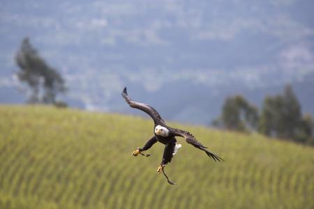 bird sanctuary: Flying American Bald Eagle landing on the glove of his trainer at an outdoor bird sanctuary near Otavalo, Ecuador 2015.