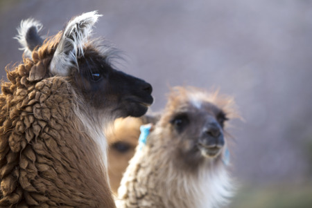 siete: Group of llamas in Purmamarca, near Cerro de los Siete Colores (The Hill of Seven Colors), in the colourful valley of Quebrada de Humahuaca in Jujuy Province, northern Argentina.