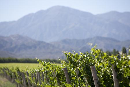 Vineyard in San Juan, in the North of Argentina. San Juan Province.