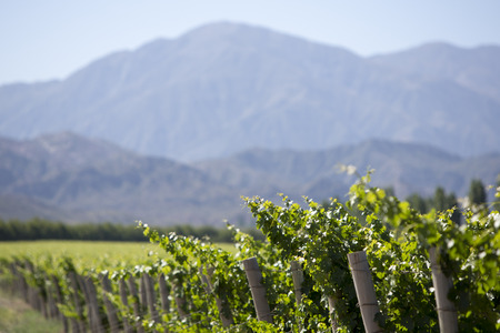 chile: Vineyard in San Juan, in the North of Argentina. San Juan Province.
