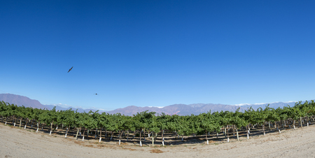 bowstring: Panorama of vineyards in San Juan with condors flying in clear blue sky with the mountains in the background, North of Argentina. San Juan Province. Stock Photo