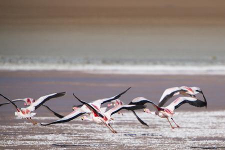 avaroa: Group of pink flamingos flying over a lake close to the Eduardo Avaroa National Park in Bolivia Stock Photo