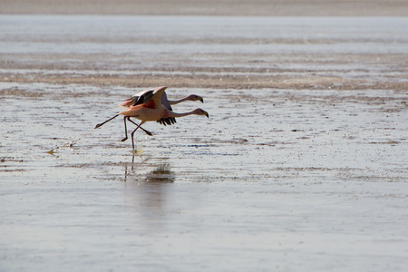 eduardo: Couple of running pink flamingos running in a lake close to the Eduardo Avaroa National Park in Bolivia