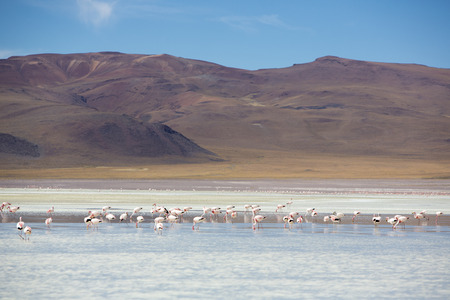 eduardo: Pink flamingoes in lagoon Colorada, Altiplano close to Eduardo Avaroa National Park in Bolivia