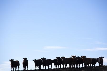 Silhouette einer Gruppe von braunen Kühe auf die Kamera in einem Bauernhof Land in Uruguay mit blauem Himmel. Dies ist das Ergebnis der intensiven Vieh Geschäft in Südamerika 2014. Standard-Bild - 44294835