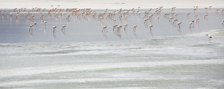avaroa: Group of pink flamingos standing on a lake close to the Eduardo Avaroa National Park in Bolivia