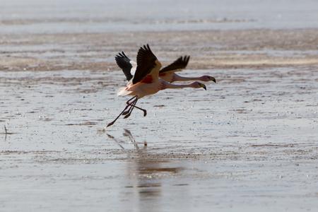 avaroa: Group of pink flamingos flying on a lake close to the Eduardo Avaroa National Park in Bolivia