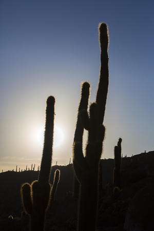pescado: Silhouettes of Huge Trichoreus cactus standing on Isla Incahuasi (Isla del Pescado) in the middle of the worlds biggest salt plain Salar de Uyuni, the Island is covered with cactus. Bolivia
