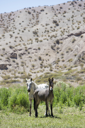 indian creek: Donkey and small horse standing in a green field and both looking at the camera. Arid landscape of Calingasta. San Juan Province. Argentina Stock Photo