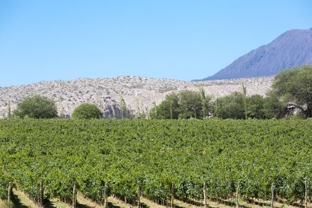 bowstring: Vineyard in Cafayate, in the North of Argentina. Salta Province. Stock Photo