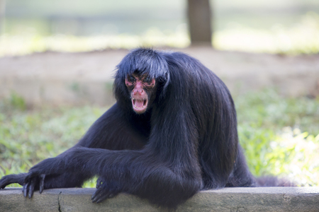 agressive: Chimpanzee sitting by the outdoors pool with with agressive expression at the zoo of Manaus, Brazil.