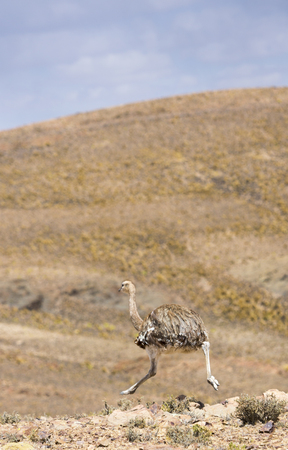 avaroa: Single ostrich running in the mountains in Eduardo Avaroa Andean Fauna National Reserve, Bolivia Stock Photo