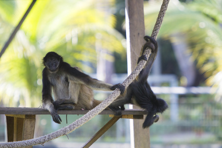 spider: Young monkeys walking on a branch at the zoo of Manaus, Brazil.