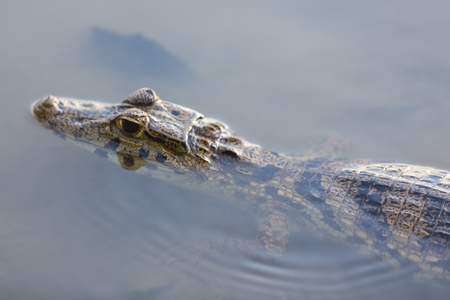 close up eyes: Close up of a Caiman (Caimaninae or crocodile) staying in still water at Serere reserve Madidi, Bolivia (selective focus on the eyes)