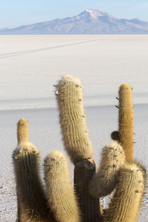 pescado: Trichoreus cactus standing on Isla Incahuasi (Isla del Pescado) in the middle of the worlds biggest salt plain Salar de Uyuni, the Island is covered with cactus. Bolivia