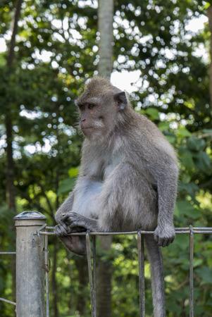 ubud: Long-tailed macaque (Macaca fascicularis) in Sacred Monkey Forest, Ubud, Indonesia