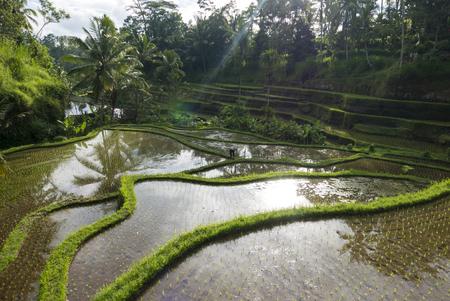 ubud: Green terrace rice fields in afternoon sunset, Ubud, Bali, Indonesia Stock Photo