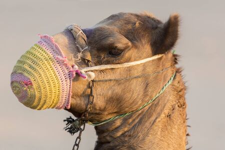 mouth cloth: Detail of camels head in the desert of Dubai with piece of cloth covering his mouth Stock Photo
