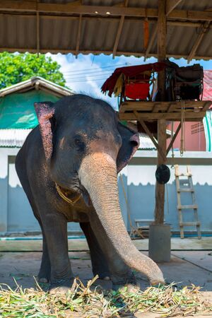 swaying: Thai tourist elephant swaying from left to right. Tourist attraction in Koh Chang Island, Trat Province. Stock Photo