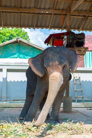 trato amable: Elefantes de Tailandia tur�stica vaiv�n de izquierda a derecha. atracci�n tur�stica en la isla de Koh Chang, Trat Province. Foto de archivo