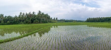 negara: Panorama of green terrace rice fields with water in afternoon near Negara city in Bali Island, Indonesia