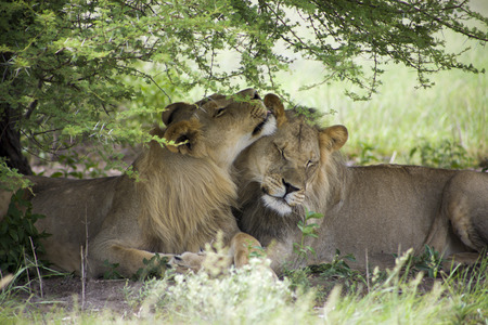 cuddles: Two young lions sitting and Giving cuddles to Each Other in the bush of Moremi Game Reserve in Botswana. The Untouched safari in Africa Paradisea Stock Photo