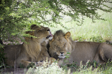 cuddles: Two young lions sitting and giving cuddles to each other in the bush of Moremi Game Reserve in Botswana. The Untouched safari paradise? in Africa