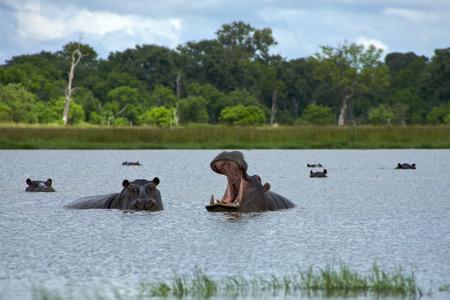 モレミ ゲーム リザーブ (オカバンゴ川) 国立公園、ボツワナで口を開けてカバ