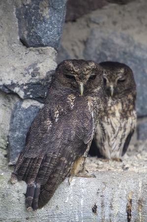 bird sanctuary: Closeup of owls at an outdoor bird sanctuary near Otavalo, Ecuador