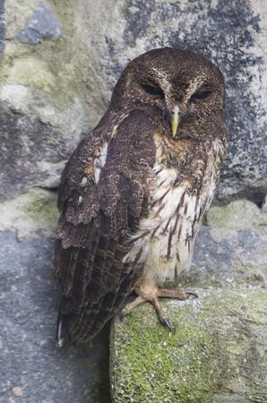 bird sanctuary: Closeup of owl at an outdoor bird sanctuary near Otavalo, Ecuador