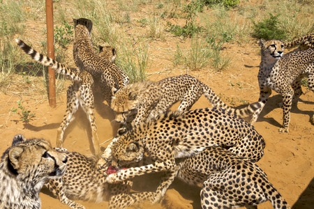 cheetahs: Amazing closeup of group of Cheetahs fighting to get their peace of pray in Namibia. Southern Africa