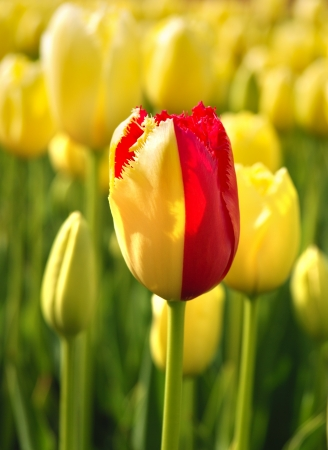 standing out from the crowd: One red tulip among yellow ones Stock Photo
