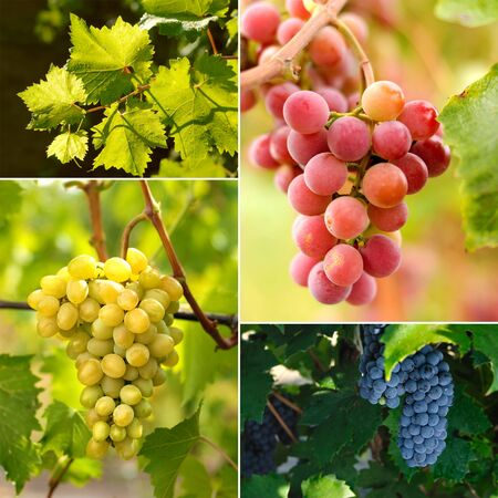 food collage: Grapes on vine sunny day collage Stock Photo