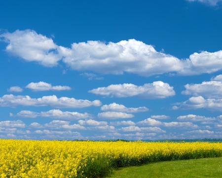 oilseed: Oilseed under cloudy sky sunny day